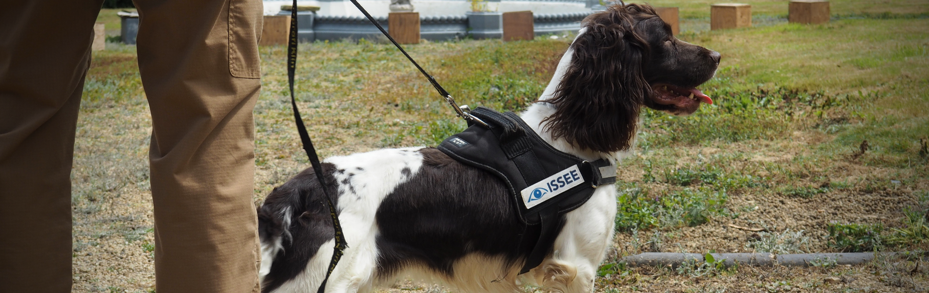 A spaniel dog wearing a coat as part of its explosive search kit