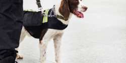 Explosive Detection Dog